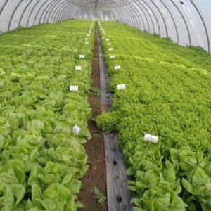 Salade Abri TP