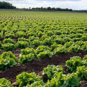 Salade Plein Champs TP